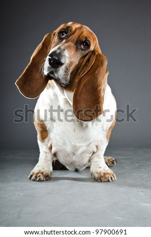 Basset hound isolated on grey background - stock photo
