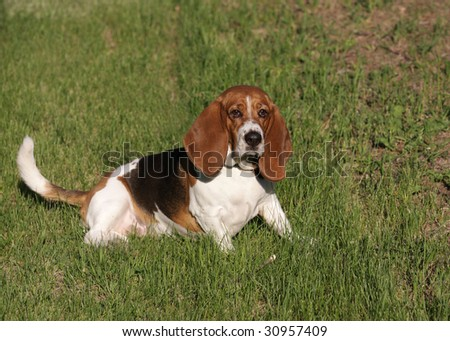 Basset hound laying down - stock photo