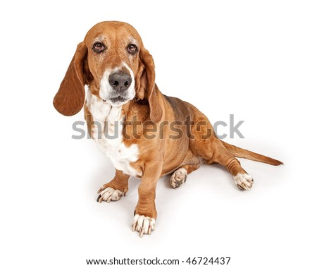 Basset Hound looking forward - stock photo
