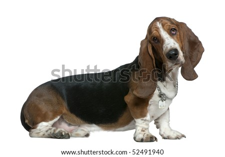 Basset hound, 22 months old, sitting in front of white background - stock photo