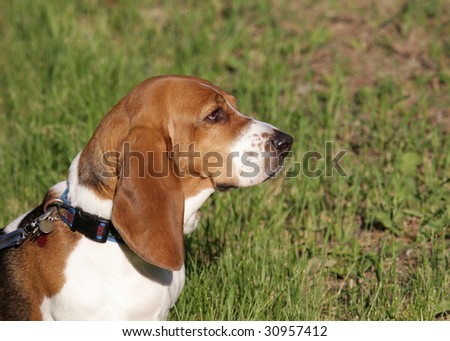 Basset hound profile - stock photo