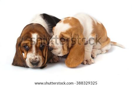 Basset Hound puppies talk - stock photo