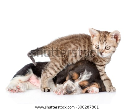 basset hound puppy and tiny kitten together. isolated on white background - stock photo