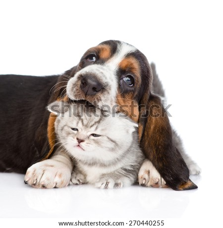 basset hound puppy biting tiny kitten. isolated on white background - stock photo