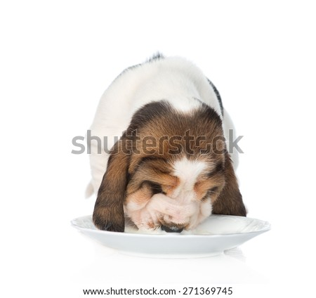 Basset hound puppy drink milk from a bowl. isolated on white background - stock photo