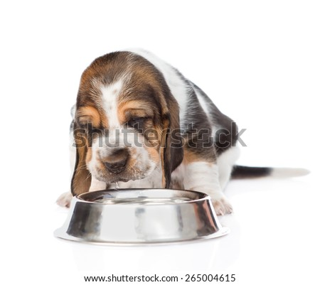 Basset hound puppy drink water from a bowl. isolated on white background - stock photo