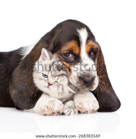 basset hound puppy embracing tiny kitten. isolated on white background