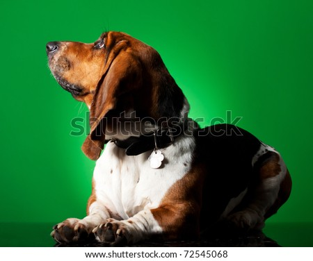 Basset Hound Puppy in front of green background , looking to a side - stock photo