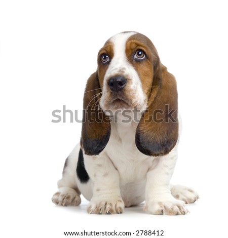 Basset Hound Puppy in front of white background - stock photo