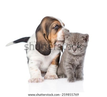 Basset hound puppy kissing tiny kitten. isolated on white background - stock photo
