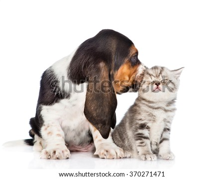 Basset hound puppy kissing tiny kitten. isolated on white background - stock photo
