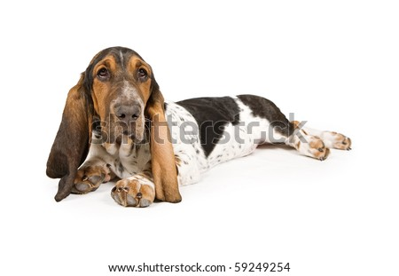 Basset Hound puppy laying down and looking up. Isolated on white. - stock photo