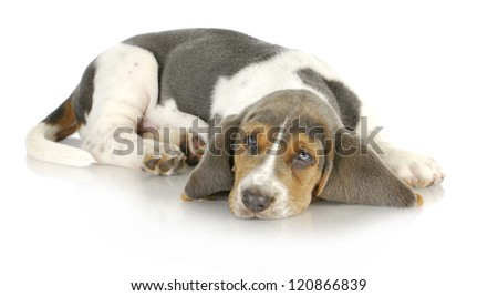 basset hound puppy laying down with reflection on white background - stock photo