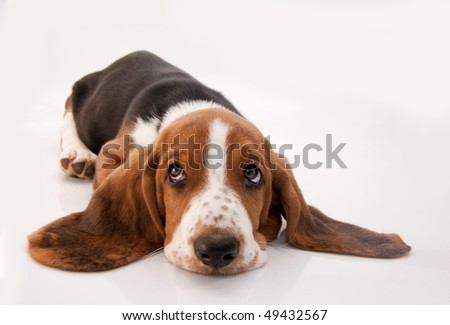 basset hound puppy lying down looking up on white background - stock photo