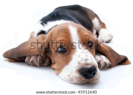 basset hound puppy lying down on white background - stock photo