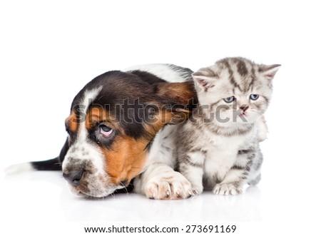 basset hound puppy lying with tiny kitten. isolated on white background - stock photo