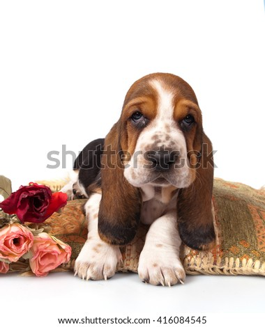 Basset hound puppy on a pillow on a white background