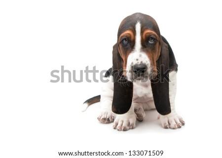 basset hound puppy on white background - stock photo