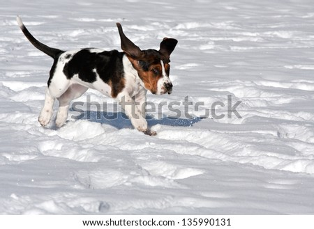 basset hound puppy running in the snow with ears flapping looking funny - stock photo