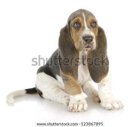 basset hound puppy sitting on white background - stock photo