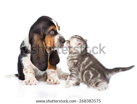 basset hound puppy sniffing tabby kitten. isolated on white background - stock photo
