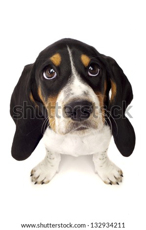 Basset Hound Puppy With Big Eyes Isolated on a White Background Shot From Above - stock photo