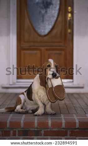 Basset Hound Waiting With Owner's Slippers - stock photo
