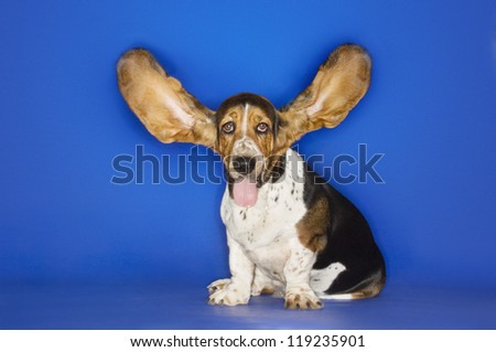 Basset hound with his ears flying away over blue background - stock photo