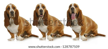 basset hound with three different expressions isolated on white background - stock photo