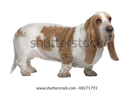 Basset Hound, 3 Years Old, standing in front of white background - stock photo