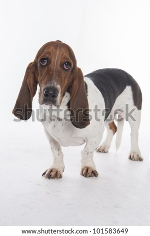 Bassett Hound on white background - stock photo