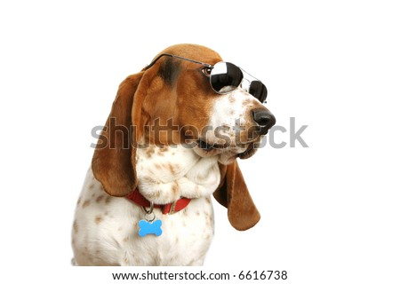 Bassett hound with sunglasses on white backdrop. - stock photo