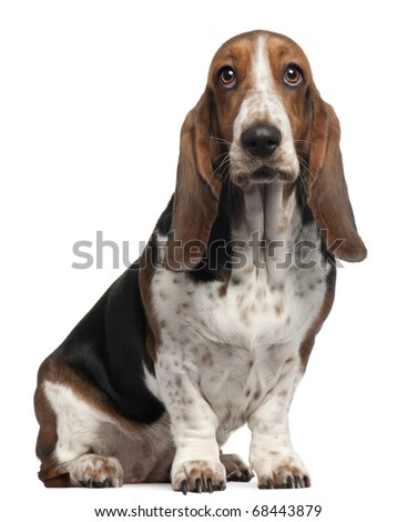 Bassett Hound, 6 years old, sitting in front of white background - stock photo
