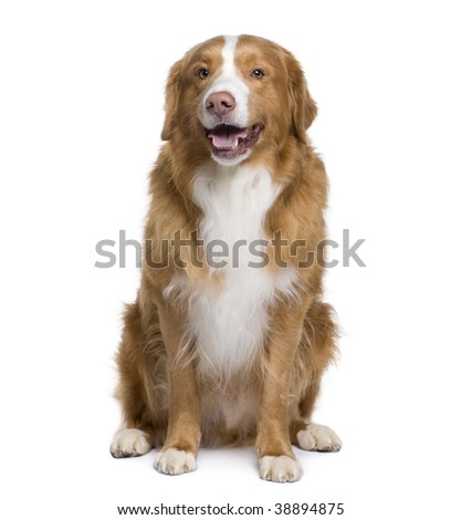 Bastard dog, 6 years old, sitting in front of white background, studio shot