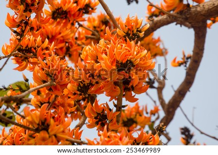 Bastard Teak, Bengal Kino or Flame of the Forest flower bloom of Southeast Asia in Thailand - stock photo