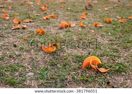 Bastard Teak, Bengal Kino or Flame of the Forest flower on green grass - stock photo