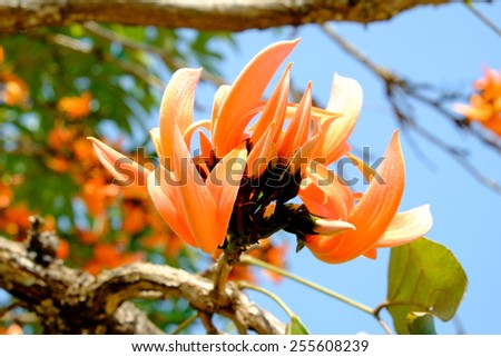 Bastard Teak Flower , Bengal Kino or Flame of the Forest flower bloom  - stock photo