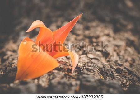 Bastard Teak Flower , Bengal Kino or Flame of the Forest flower bloom ,Vintage style ,Still life - stock photo
