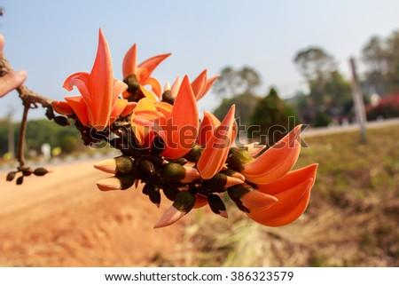 Bastard Teak Flower bloom in phetchabun, Thailand. - stock photo