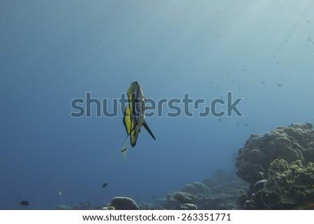 bat fish portrait of platax in maldives - stock photo