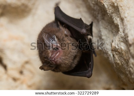 Bat hanging from cave roof