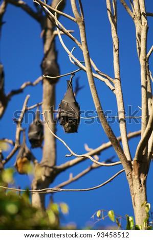Bat hanging on a tree in the Royal Botanic Garden.  Sidney  Australia. - stock photo