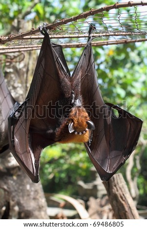 Bat in Bali Island - stock photo