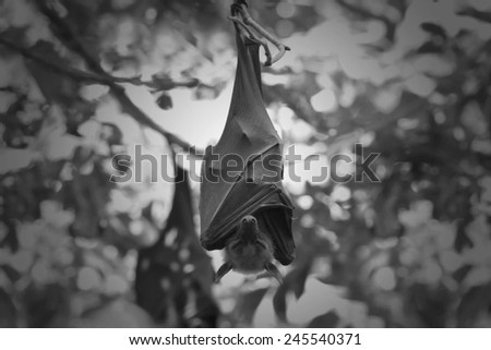 Bat,Lyle's flying fox (Pteropus lylei), Black and white style - stock photo