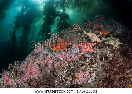 Bat sea stars (Asterina miniata) cling to the rocky bottom of a kelp forest where strawberry anemones grow off the coast of Northern California.  - stock photo