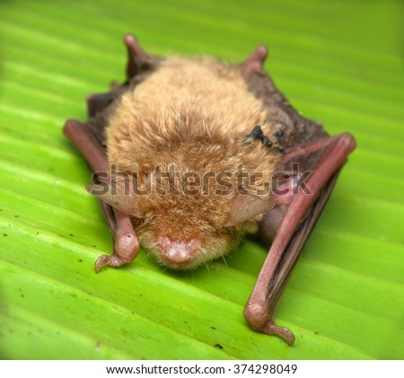 bat sleeping on banana leaf - stock photo