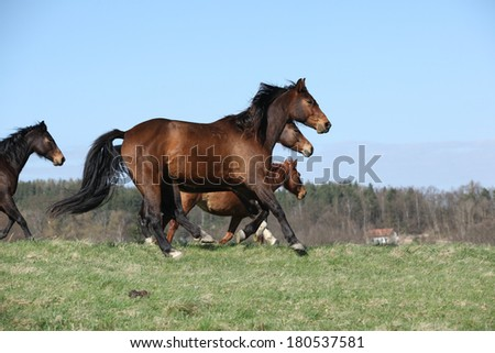 Batch of brown horses moving together in pasturage - stock photo