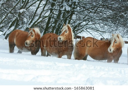 Batch of haflingers running together in winter - stock photo
