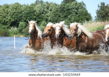 Batch of young haflingers moving in water - stock photo
