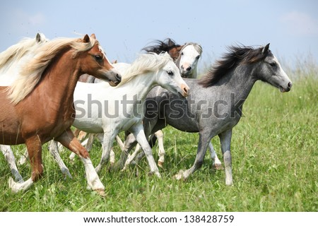 Batch of young welsh ponnies running together on green pasturage - stock photo